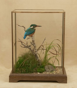 taxidermy Kingfisher in standard stained oak case