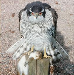 Goshawk Bird Taxidermy